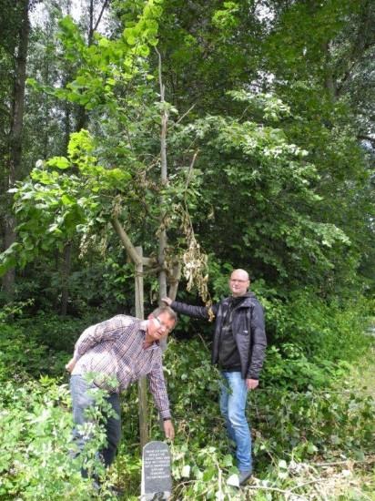 Ratsherr Detlef Seiler (rechts) und SPD-Ortsvereinsvorsitzender Udo Kath weisen auf den durch den Sturm verletzten Jubiläumsbaum hin